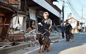Rescuers and their dogs patrol past collapsed houses in Mashiki, Kumamoto prefecture on April 16, 2016. A powerful earthquake hit southern Japan early April 16, authorities said, sending panicked residents out of their homes in a region where nerves were already frayed by a swarm of strong shaking. / AFP PHOTO / KAZUHIRO NOGIKAZUHIRO NOGI/AFP/Getty Images