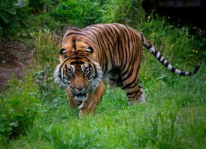 CATEGORY A highly commended - Sumatran tiger by Joe Beattie