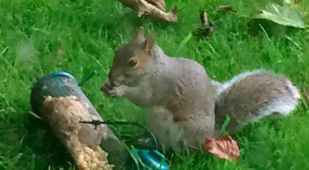"""There's an inter-species battle of wills going on in my garden, the like of which hasn't been seen since the days of Looney Tunes cartoons. But instead of Wiley Coyote vs the Roadrunner (""""Meep meep!"""") it's me versus Cyril the saboteur squirrel"""