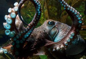 On-the-run: Inky the octopus. Photo: National Aquarium of New Zealand