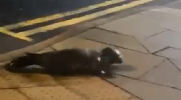 The seal was caught on camera in Ballycastle.