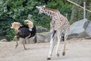 "CATEGORY D highly commended - Rothschild's giraffe and ostrich by Tim Liggat. ""You told me you could fly"""