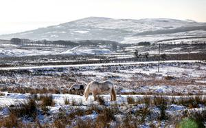 Horses on the Divis Ridge Trail during the icy weather on Monday. Pic: Kevin Scott / Belfast Telegraph