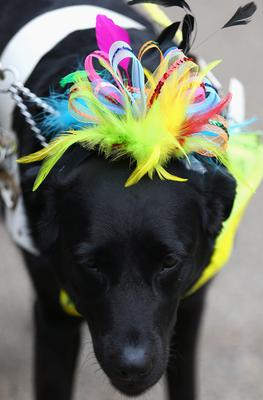 ASCOT, ENGLAND - JUNE 20:  A guide dog is seen wearing a hat on Ladies' Day during day three of Royal Ascot at Ascot Racecourse on June 20, 2013 in Ascot, England.  (Photo by Paul Gilham/Getty Images)
