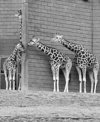 "CATEGORY D highly commended - Rothschild's giraffes by Anthony Walker. ""Giraffe undefeated hide and seek champion"""