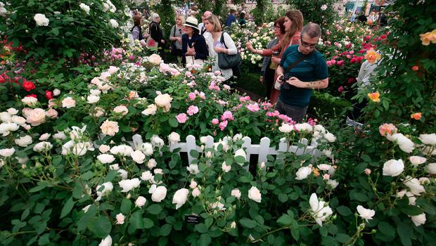 Visitors at the David Austin Roses display during the RHS Chelsea Flower Show at the Royal Hospital Chelsea, London. Jonathan Brady/PA Wire