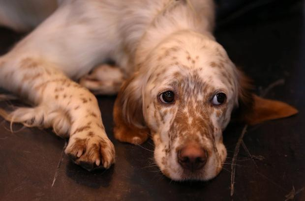 An English Setter rests on the fourth and final day of Crufts dog show at the NEC on March 9, 2014 in Birmingham, England. (Photo by Matt Cardy/Getty Images)