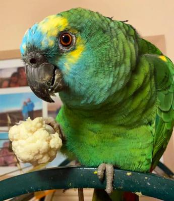 Crisps-obsessed Amazon green parrot Bud was so overweight that she struggled to fly (RSPCA/PA)