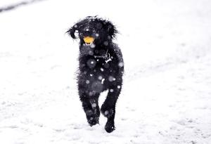 Pacemaker Press 08/12/2017 A dog enjoying the snow   in Crumlin , as heavy snow falls across  Northern Ireland on Friday morning, leaving difficult driving conditions for motorists and some schools closed. Pic Colm Lenaghan/ Pacemaker