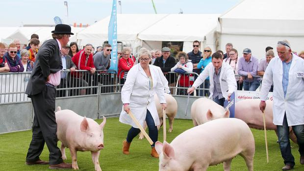 Press Eye - Belfast - Northern Ireland - 15th May 2019  First day of the Balmoral Show, in partnership with Ulster Bank. Show pigs are brought out for their competition at Balmoral Park outside Lisburn.   Picture by Jonathan Porter/PressEye