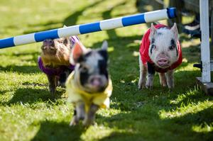 Second place in the 2015 Pennywell Bacon Stakes Steeplechase special General Election pig race is Labour Party pig Ed Swiliband, right, as he closes in on rivals, Pork Clegg, front,  for the Liberal Democrats, David Hameron for the Conservative Party, not pictured, Nigel Forage for Ukip, left, and Pork Scratchings representing all other political parties, not pictured. PRESS ASSOCIATION Photo. Picture date: Tuesday April, 14, 2015. Photo credit should read: Ben Birchall/PA Wire