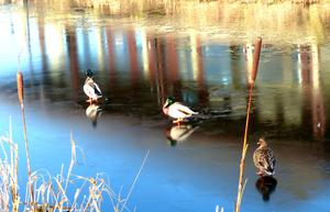 The magical reflections of the mallards in the sunshine. Oxford Island Craigavon. Pic Noeni Bryars 22/01/2015