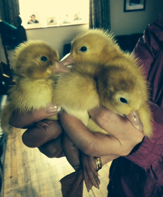Newborn Aylesbury ducklings. Photo submitted by Polina Davidson, aged 8, from her farm on Divis Mountain.