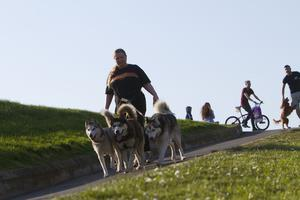 Belfast Telegraph   01-05-2017 In the sunshine at the Waterworks North Belfast. Aisling Denny Siberian huskies Nanook, nando and shadow.  Picture Colm O'Reilly 01-05-2017
