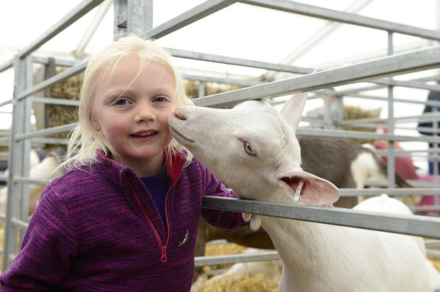 Pacemaker Press Belfast: 16/5/2018: The Balmoral Show has begun with the first of four days of events to showcase food and farming in Northern Ireland. As well as a range of livestock classes, the event hosts hundreds of trade stands displaying everything from crafts to machinery. Four year old Anna McFeeters from Carryduff pictured at the show with a Kid goat. Picture By: Arthur Allison. Pacemaker Press.