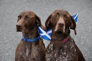 TURRIFF, SCOTLAND - SEPTEMBER 18:  German Short Haired Pointer dogs Dude (L) and Hector wait to meet First Minister Alex Salmond  on September 18, 2014 in Turriff, Scotland. After many months of campaigning the people of Scotland today head to the polls to decide the fate of their country.  The referendum is too close to call but a Yes vote would see the break-up of the United Kingdom and Scotland would stand as an independent country for the first time since the formation of the Union.  (Photo by Peter Macdiarmid/Getty Images)