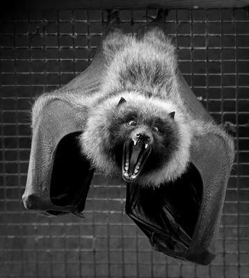 CATEGORY C 1st prize - Rodrigues fruit bat by Linda Thompson