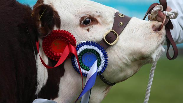 PressEye-Northern Ireland- 15th May  2019-Picture by Brian Little/PressEye  Cattle judging taking place  at Balmoral Park during the first day of the Balmoral Show 2019 Picture by Brian Little/PressEye