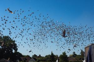 The racing pigeons headed from Kettering back to Barnsley (Jacob King/PA)