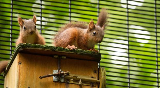 Belfast Zoo is celebrating another conservation success with the birth of five red squirrel kittens. (Photo credit - Jon Lees)