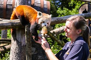 Keeper Samantha Allworthy gives an ice lolly treat to a red panda (Longleat Safari Park/PA)