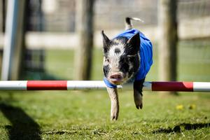 Conservative Party pig David Hameron jumps a fence on his lap of honour after romping home to win the 2015 Pennywell Bacon Stakes Steeplechase special General Election pig race, defeating rivals Ed Swiliband for the Labour Party, Pork Clegg for the Liberal Democrats, Nigel Forage for Ukip and Pork Scratchings representing all other political parties. PRESS ASSOCIATION Photo. Picture date: Tuesday April, 14, 2015. Photo credit should read: Ben Birchall/PA
