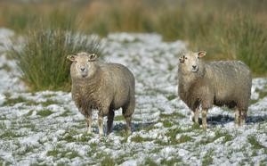 Pacemaker press 30/01/16 Sheep try to stay warm after a dusting of snow covers the ground around Loughgiel in Co Antrim. Picture Pacemaker press