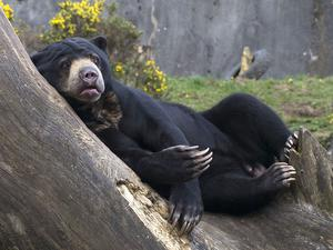 CATEGORY B 3rd prize - Malayan sun bear by Marina Kulakova