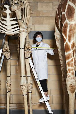 Conservator Cheryl Lynn checking museum specimens are complying with social distancing (Natural History Museum)