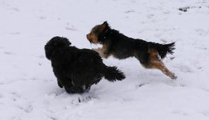 Picture - Kevin Scott / Presseye  Lurgan , UK - January 30th, Pictured is Lurgan Park covered in Snow as dogs Marley and Sampson enjoy a run on the 30th January 2016 (Photo by Kevin Scott / Presseye)
