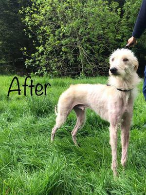 The lurcher dog is already in much improved condition.