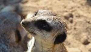 Meerkat at Belfast Zoo. Picture credit: Gary Fennelly