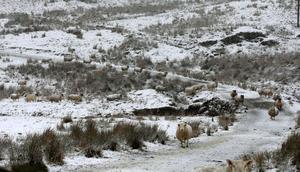Sheep in the snow in the Glens of Antrim, as an orange weather alert is announced in Northern Ireland. PRESS ASSOCIATION Photo. Picture date: Wednesday January 28, 2015. A cold weather front is to sweep in with temperatures expected to drop as much as 10C to below zero overnight into Thursday. See PA story WEATHER Cold. Photo credit should read: Niall Carson/PA Wire