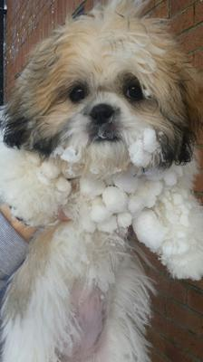 Little four month pup Daisy enjoys the snow in Moira