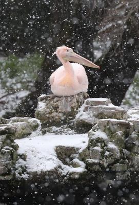 A pelican watches the snow fall in St James's Park, London (Jonathan Brady/PA)