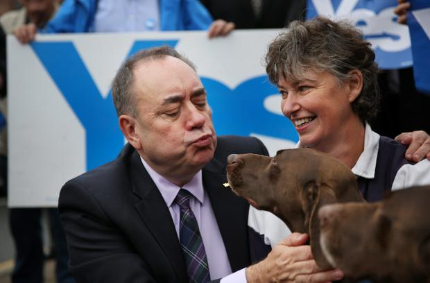 German Short Haired Pointer dogs Dude and Hector (R) meet First Minister Alex Salmond on September 18, 2014 in Turriff, Scotland. After many months of campaigning the people of Scotland today head to the polls to decide the fate of their country.