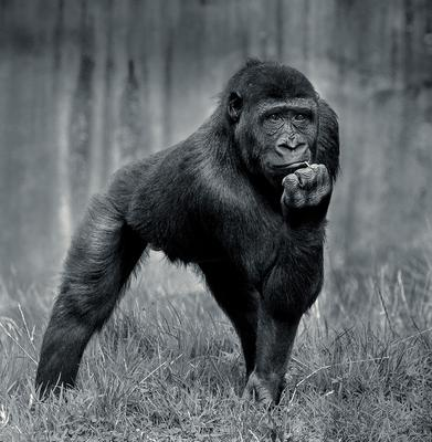 CATEGORY C 2nd prize - Western lowland gorilla by Bruce Marshall