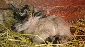 A brown baby goat (kids) at The Ark Open Farm, Bangor, Co Down.