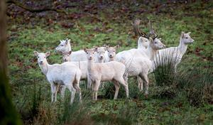White fallow deer on a cold frosty morning at Parkanaur Forest Dungannon in Northern Ireland. Pic Kevin Scott