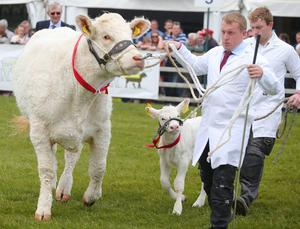 Press Eye - Belfast - Northern Ireland - 15th May 2019  First day of the Balmoral Show, in partnership with Ulster Bank. Show cattle are brought out for their competition at Balmoral Park outside Lisburn.   Picture by Jonathan Porter/PressEye