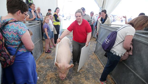 Press Eye - Belfast - Northern Ireland - 17th May 2018  Second day of the 2018 Balmoral Show, in partnership with Ulster Bank, at Balmoral Park.  Pig showing and judging at the show.   Picture by Jonathan Porter/PressEye