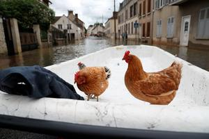 Chickens wait to be evacuated onto a dinghy accross a flooded street on June 1, 2016 in Souppes-sur-Loing, southeast of Paris. Torrential downpours have lashed parts of northern Europe in recent days, leaving four dead in Germany, breaching the banks of the Seine in Paris and flooding rural roads and villages.   AFP PHOTO / KENZO TRIBOUILLARDKENZO TRIBOUILLARD/AFP/Getty Images