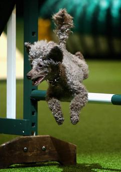 BIRMINGHAM, ENGLAND - MARCH 10: A miniature poodle makes it over a jump in the agility competition during the final day at Crufts Dog Show on March 10, 2013 in Birmingham, England. During this year's four-day competition over 22,000 dogs and their owners will vie for a variety of accolades but ultimately seeking the coveted 'Best In Show'. (Photo by Rosie Hallam/Getty Images)