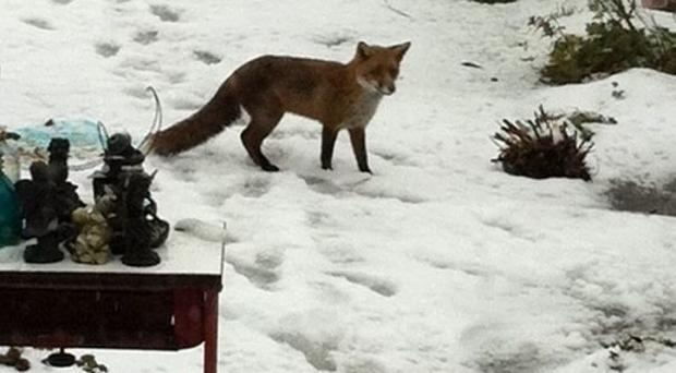 <b>Gallery of Belfast Telegraph readers' snow pictures </b>Garden fox - Carrowreagh, Dundonald submitted by Carol Cinnamond March 22 2013