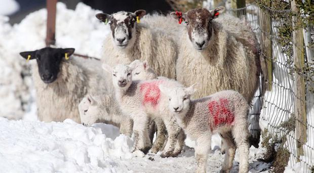 Lambs were stolen from Loughbrickland, Co Down on Tuesday