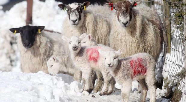 Heavy snow continues to affect parts of Northern Ireland. Sheep with their lambs in the hills surrounding Straid in Co Antrim
