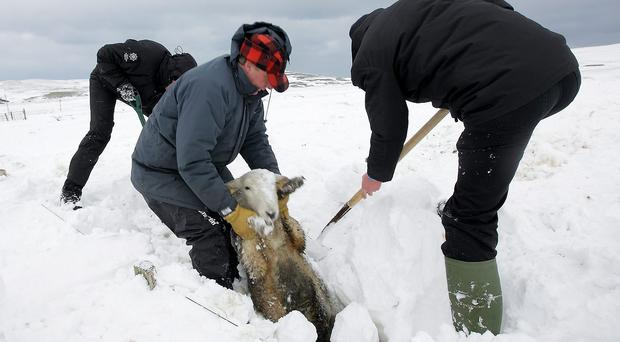 Glens farmer Campbell Tweed pulls a barely-alive sheep from a snow drift on his land at Cairncastle