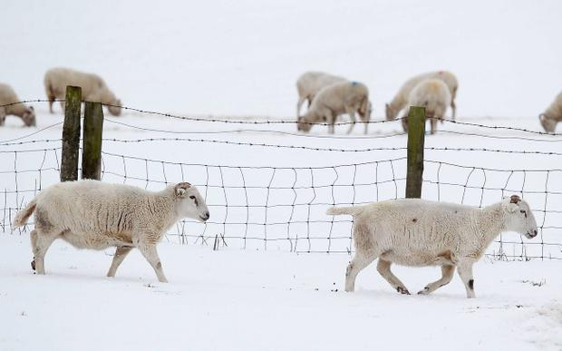 Northern Ireland- 26th March 2013 Mandatory Credit - Photo-Jonathan Porter/Presseye. Heavy snow continues to affect high areas across Northern Ireland following the bad weather at the weekend. Sheep pictured in the hills above Glenarm in Co. Antrim.