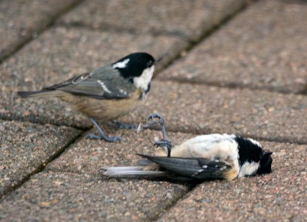 The Coal Tit tries to kick the dead bird with its feet in an attempt to revive it
