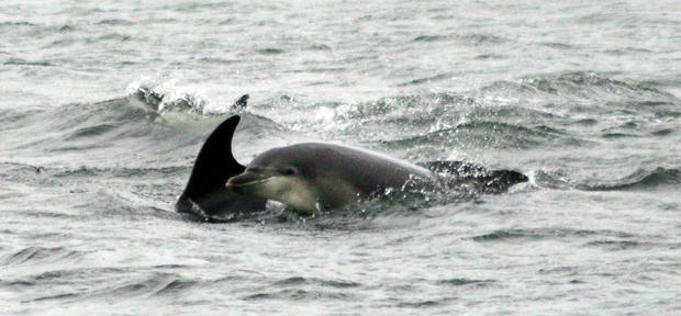 Dolphins swim between Ballygally and Glenarm.